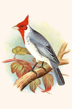 Red Crested Cardinal by F.w. Frohawk
