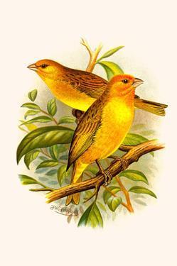 Safron Finch or Brazilian Bunting or Brazilian Canary by F.w. Frohawk