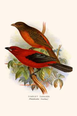 Scarlet Tanager by F.w. Frohawk
