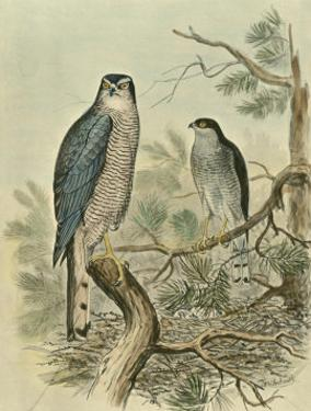 Sparrow Hawk by F.w. Frohawk