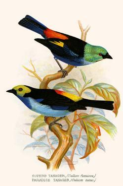 Superb Tanager, Paradise Tanager by F.w. Frohawk