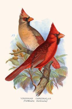 Virginian Cardinal by F.w. Frohawk