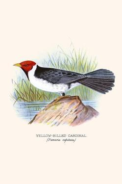 Yellow Billed Cardinal, Brown Throated or Lesser Cardinal by F.w. Frohawk