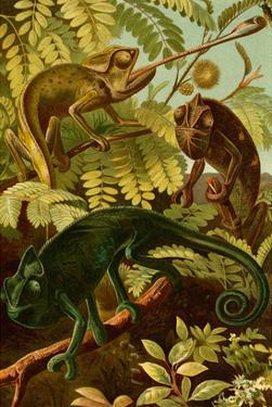 Chameleons by F.W. Kuhnert