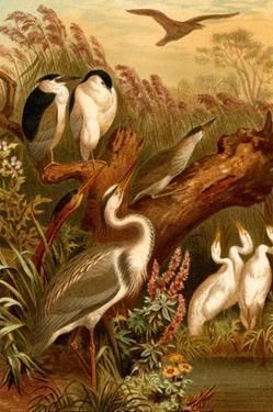Egrets and Cranes by F.W. Kuhnert