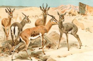 Gazelles by F.W. Kuhnert