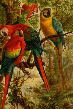 Macaws by F.W. Kuhnert