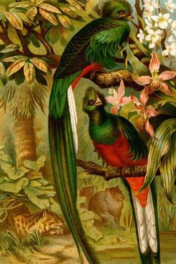 Quetzal by F.W. Kuhnert