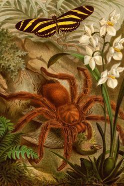 Tarantula - Bird Eating Spider by F.W. Kuhnert