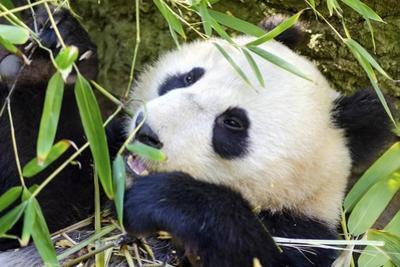 Panda by f8grapher