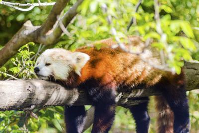 Red Panda by f8grapher