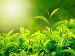 Green Tea Bud and Fresh Leaves, Tea Plantations, Nature of Kerala, India by f9photos