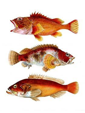 Orange Fish Trio by Fab Funky