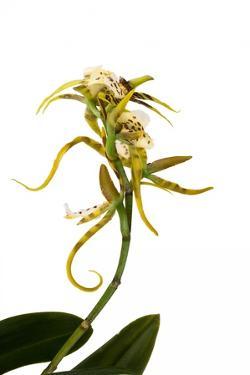 Brassia Eternal Wind by Fabio Petroni