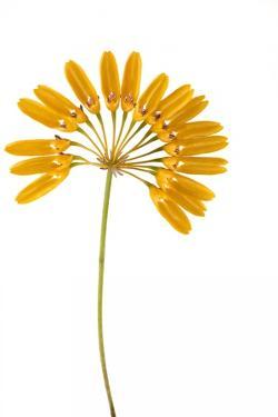 Bulbophyllum Retusiusculum by Fabio Petroni