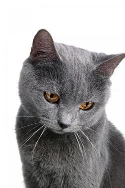 Chartreux Cat by Fabio Petroni