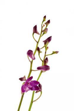 Dendrobium Berry Oda2 by Fabio Petroni