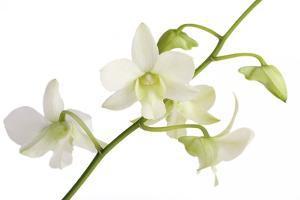 Dendrobium Emma White by Fabio Petroni