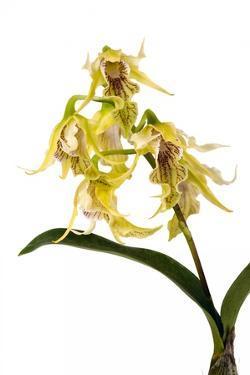 Dendrobium Hodgkinsonii by Fabio Petroni