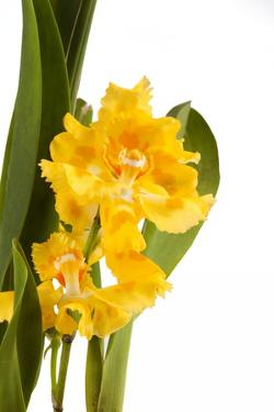 Oncidium George Mc Mahon Fortuna.Petal 1 by Fabio Petroni