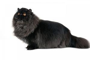 Persian Cat by Fabio Petroni