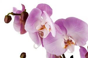 Phalaenopsis Hilo Pink1 by Fabio Petroni