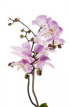 Phalaenopsis Hilo Pink2 by Fabio Petroni