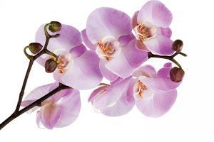 Phalaenopsis Hilo Pink by Fabio Petroni