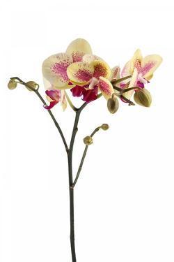Phalaenopsis Ibrid1 by Fabio Petroni