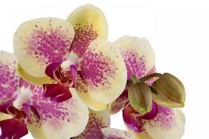 Phalaenopsis Ibrid3 by Fabio Petroni