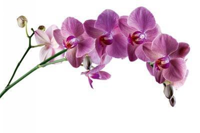 Phalaenopsis Ibrid4 by Fabio Petroni