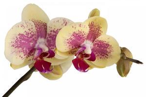 Phalaenopsis Ibrid by Fabio Petroni