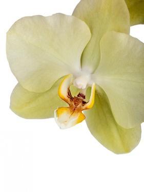 Phalaenopsis Miss Saigong2 by Fabio Petroni