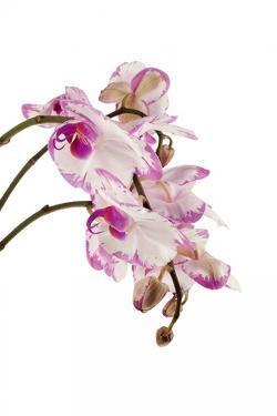 Phalaenopsis Shih Hua Smile1 by Fabio Petroni