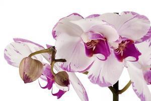 Phalaenopsis Shih Hua Smile2 by Fabio Petroni