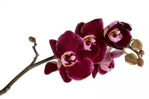 Phalaenopsis Taida Pearl4 by Fabio Petroni