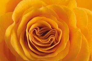 Roses by Fabio Petroni