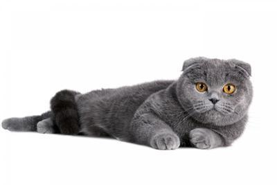 Scottish Fold Cat by Fabio Petroni