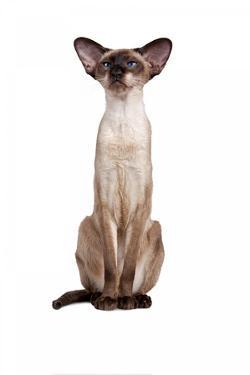 Siamese Cat by Fabio Petroni