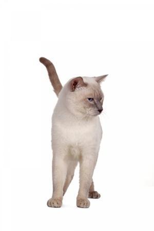 Siamese Thai Cat by Fabio Petroni
