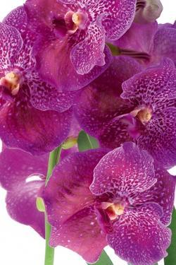 Vanda Robert's Delight by Fabio Petroni