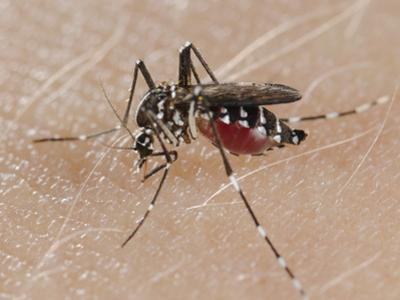 A Tiger Mosquito Feeding on Human Blood (Aedes Albopictus) by Fabio Pupin