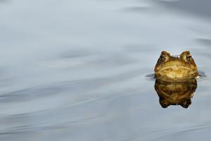 Common Toad (Bufo bufo) adult, head emerging from water, Italy, march by Fabio Pupin
