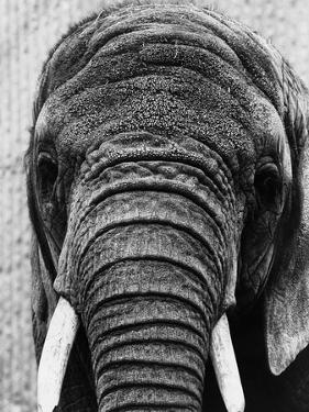 Face of an Elephant
