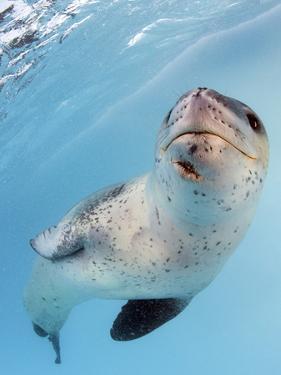 Facial View of a Leopard Seal, Astrolabe Island, Antarctica