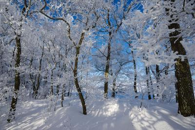 Iced Up Trees in the Winter Wood, Triebtal, Vogtland, Saxony, Germany