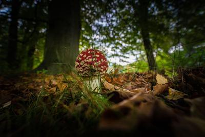 Young Toadstool in Autumn