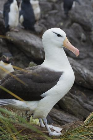 https://imgc.allpostersimages.com/img/posters/falkland-islands-west-point-island-black-browed-albatross_u-L-PU3DHY0.jpg?p=0