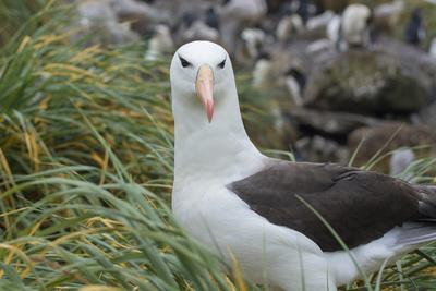 https://imgc.allpostersimages.com/img/posters/falkland-islands-west-point-island-black-browed-albatross_u-L-PU3DID0.jpg?p=0