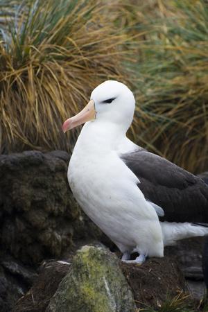 https://imgc.allpostersimages.com/img/posters/falkland-islands-west-point-island-black-browed-albatross_u-L-PU3DJ70.jpg?p=0